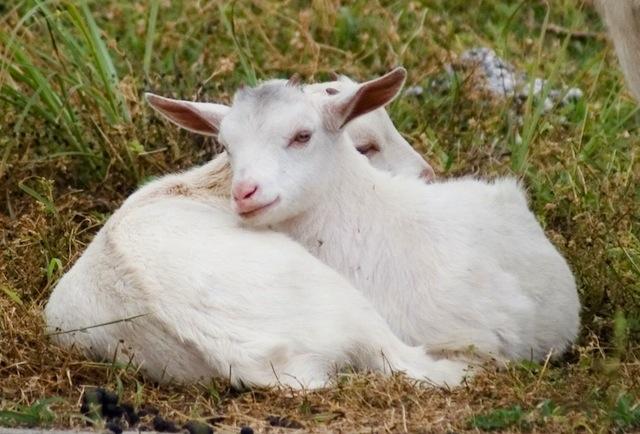 寄り添う二匹のヤギ
